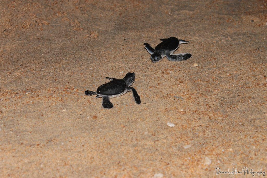 Schildkröte jung