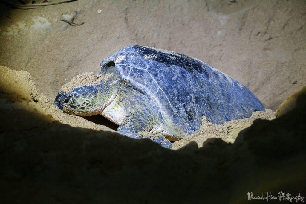 Schildkröte bei der Eiablage